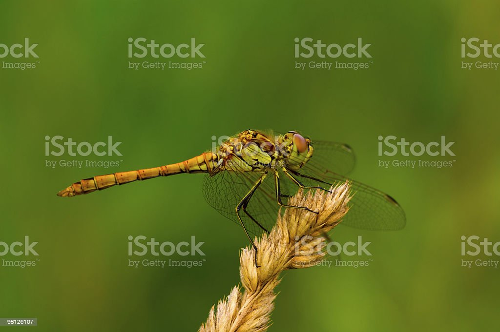 Golden Libellula foto stock royalty-free