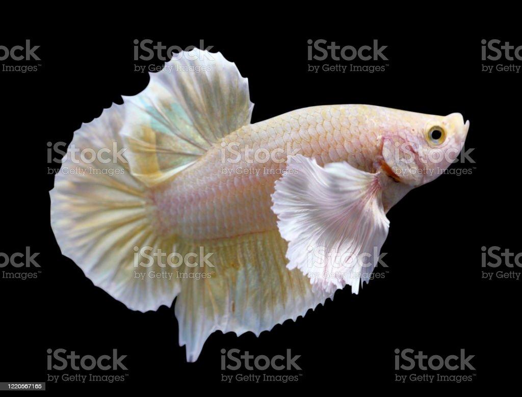 Golden Dumbo Ear Halfmoon Plakat Hmpk Betta Male Or Plakat Fighting Fish Splendens On Black Background Stock Photo Download Image Now Istock