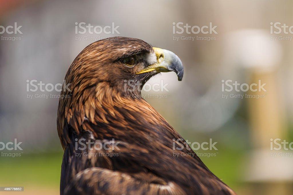 Golden Eagle  angle profile view stock photo