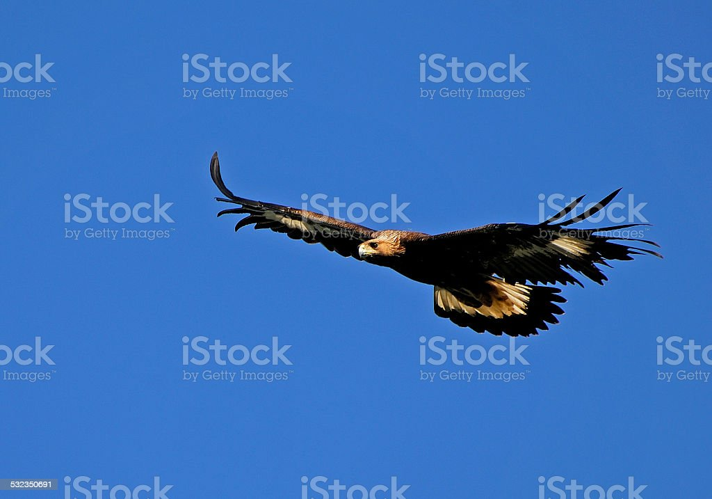 Golden eagle, Aquila chrysaetos, Flying stock photo