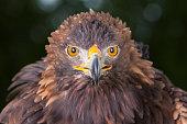 Golden eagle ( Aquila chrysaetos )