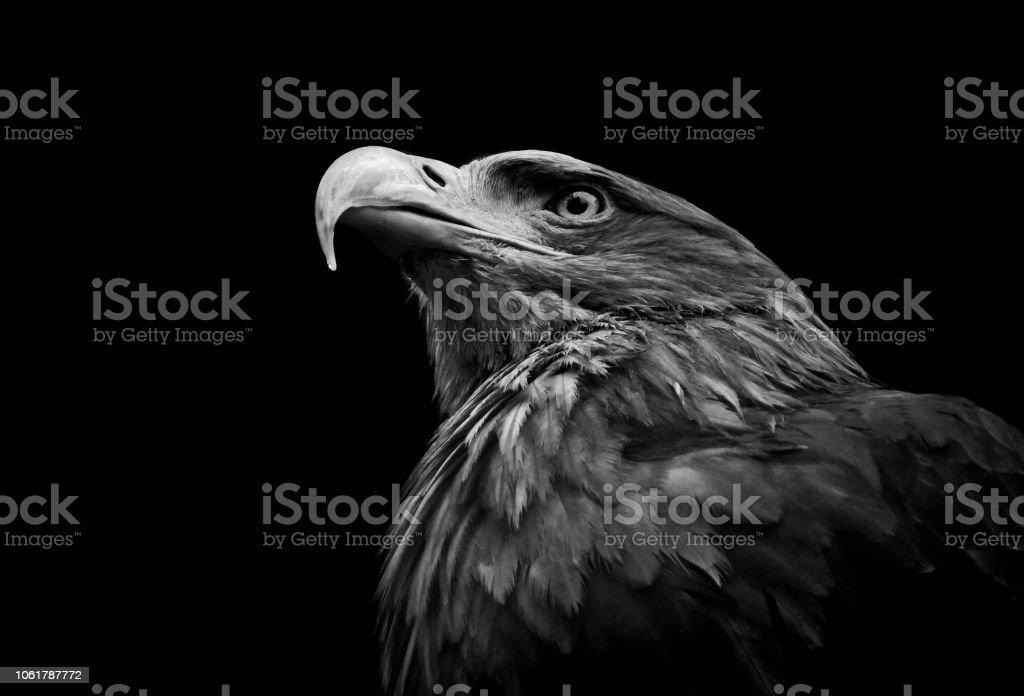 -Águia-real Aquila chrysaetos - foto de acervo