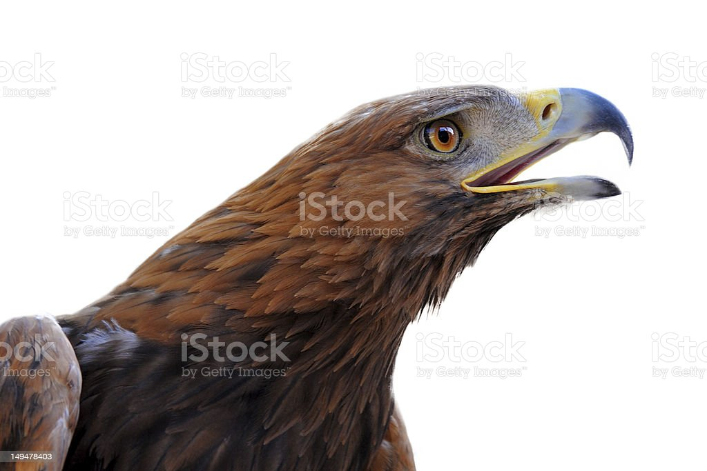 Golden Eagle, l'Aquila chrysaetos - foto stock