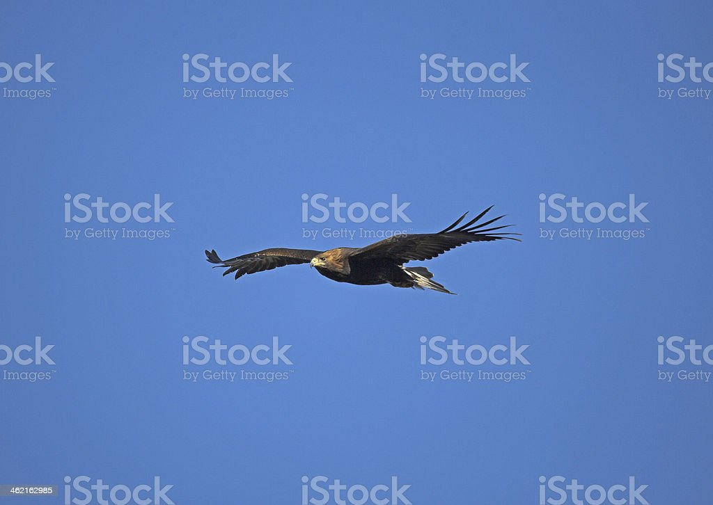 Golden eagle, Aquila chrysaetos stock photo