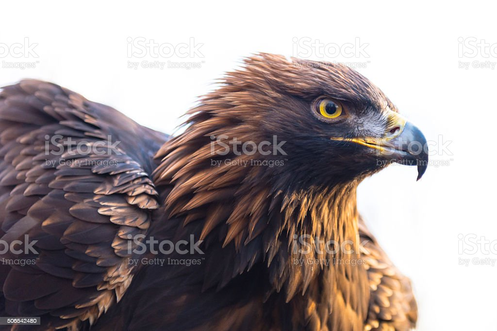 Golden eagle - Aquila chrysaetos stock photo