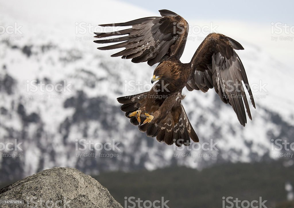 Golden Eagle comming a terra - foto stock