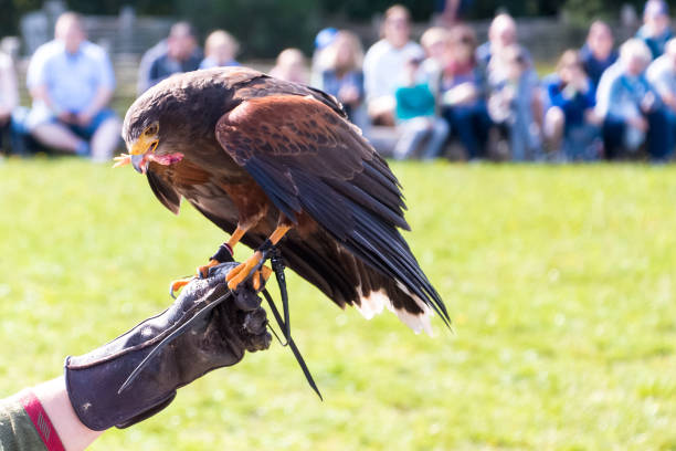 Golden eagle eating in a falconry show with unrecognizable people on the arm of its trainer stock photo