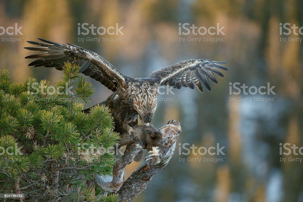 Golden eagle Füttern – Foto