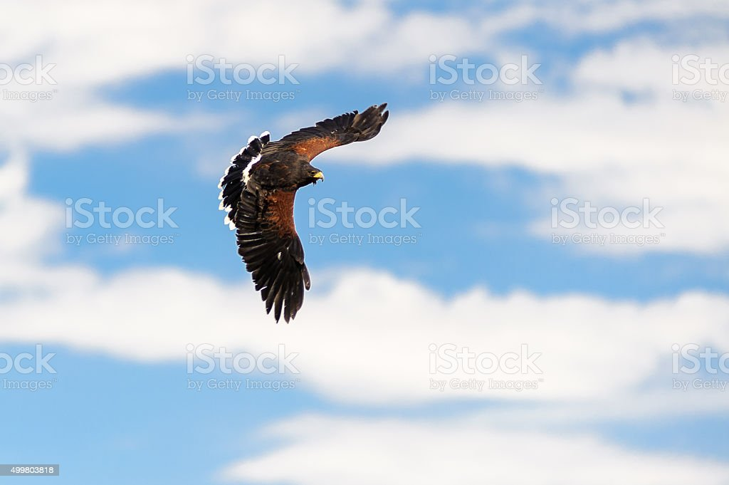Golden Eagle  flying on a blue sky stock photo