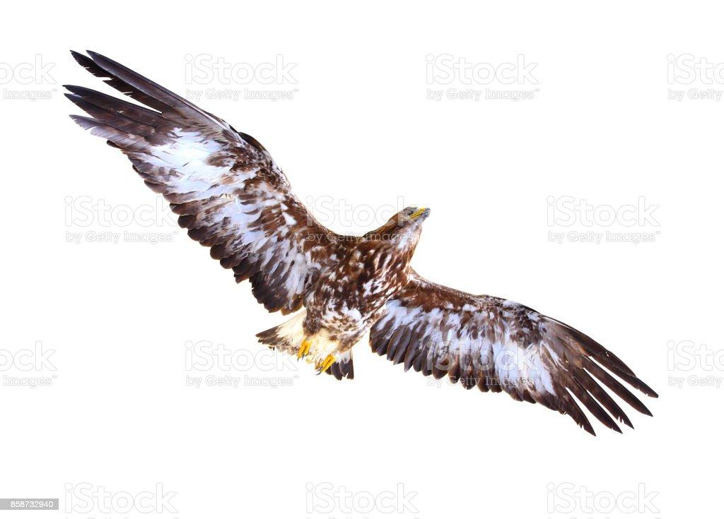 Golden Eagle flying. - foto stock