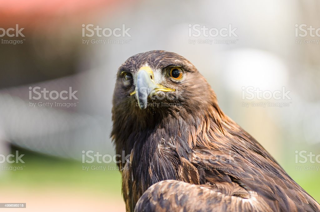 Golden Eagle front view stock photo