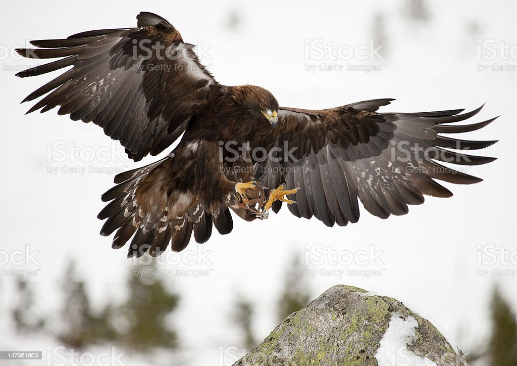 Golden Eagle sono arrivati - foto stock