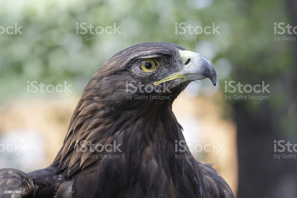 Golden Eagle Head Close-Up Profile stock photo
