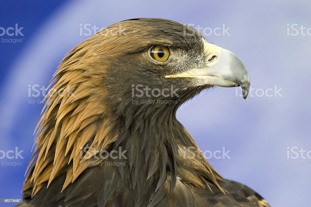 Golden Eagle Head Profile Close-Up royalty-free stock photo