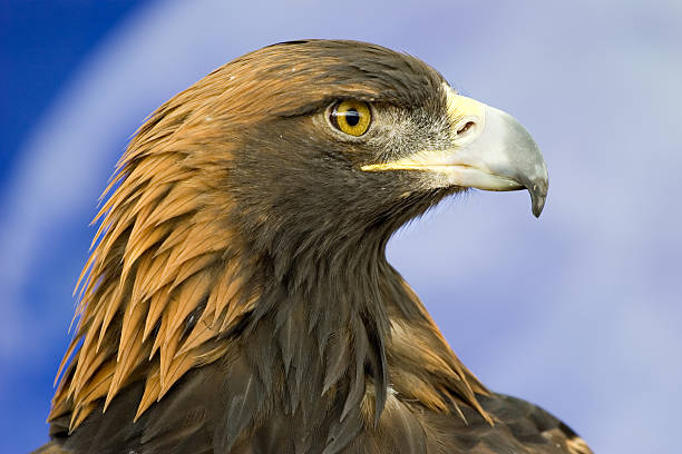 Golden Eagle Head Profile Close-Up stock photo