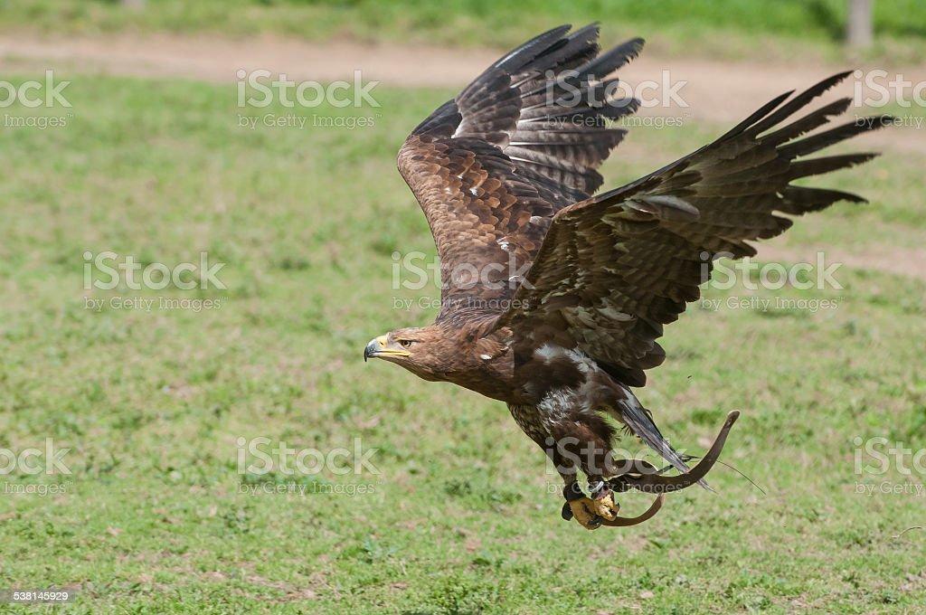 Golden eagle in falconeria esposizione - foto stock