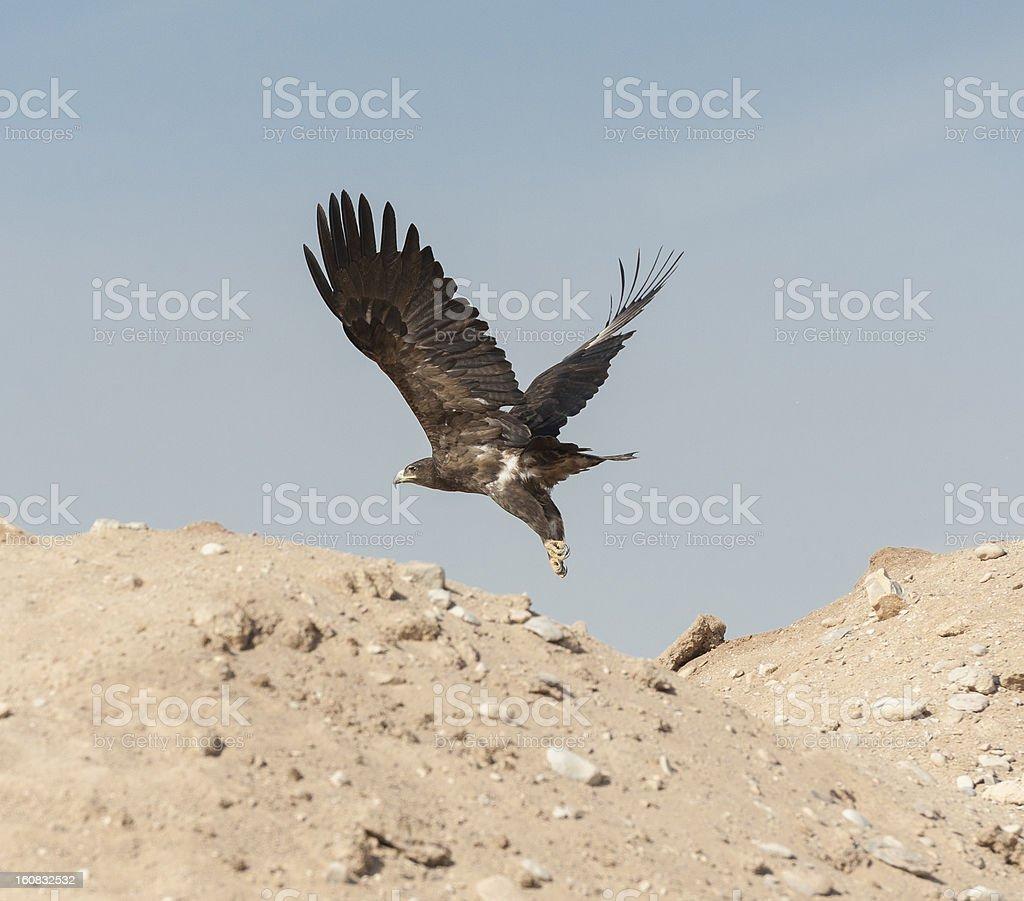 Golden eagle in volo - foto stock