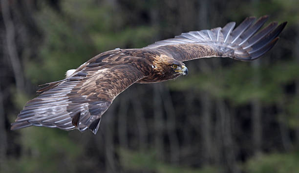 Golden Eagle in Flight stock photo