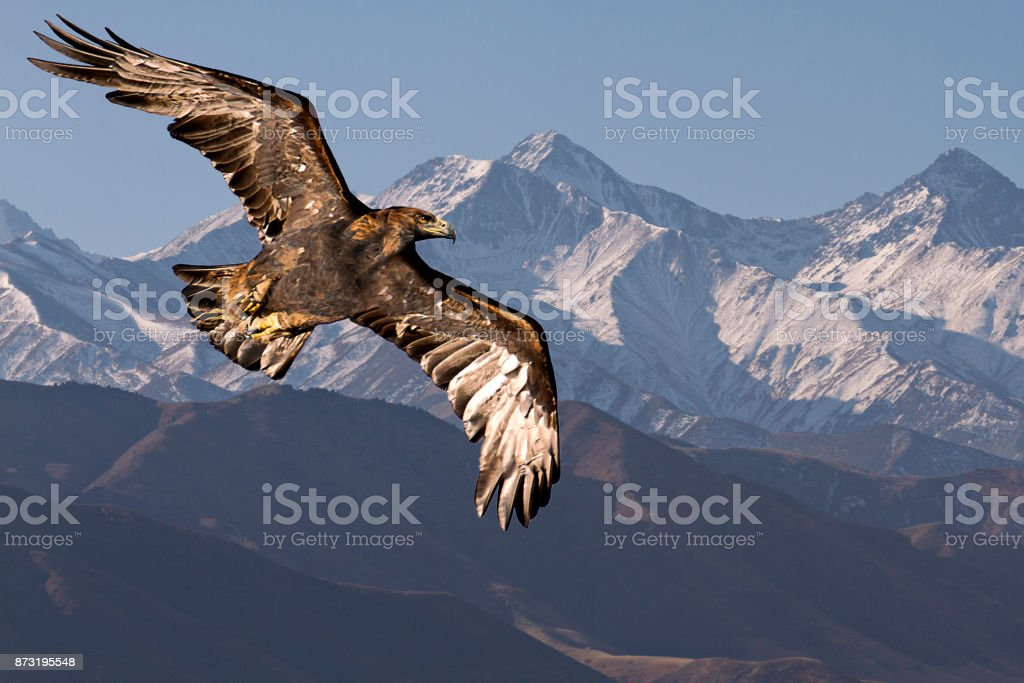Golden eagle in flight. - foto stock