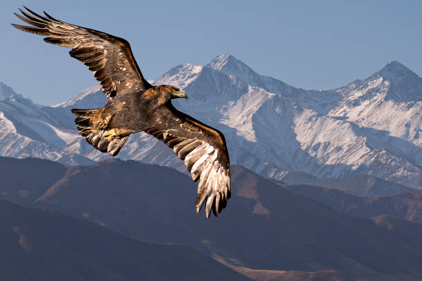 Golden eagle in flight. stock photo