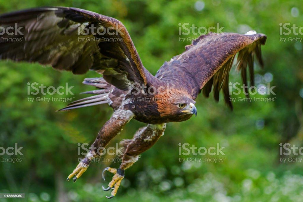 Golden Eagle in flight. - foto stock