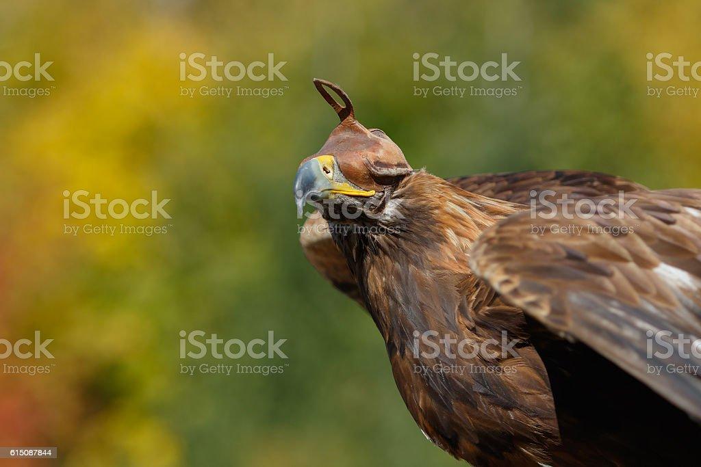 Golden Eagle in predator eagle hood on autumn background stock photo