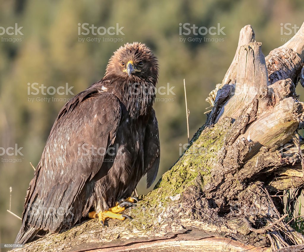 Golden Eagle On A Log stock photo