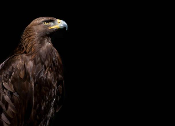 Golden Eagle on black background stock photo