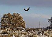 Northern California's Klamath Basin.\nButte Valley National Grassland.\nKlamath National Forest Edge.\nMeiss Lake Wildlife Refuge.\n\nA Large Golden Eagle Juvenile Flying In January.
