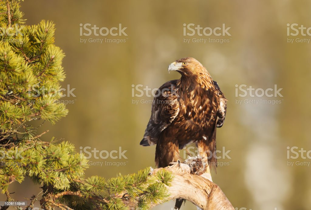 Golden Eagle perching on a pine tree branch with a killed bird - foto stock