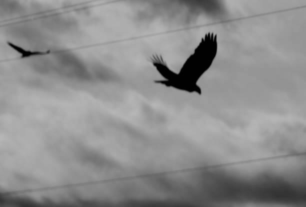 Golden Eagle Phantoms stock photo