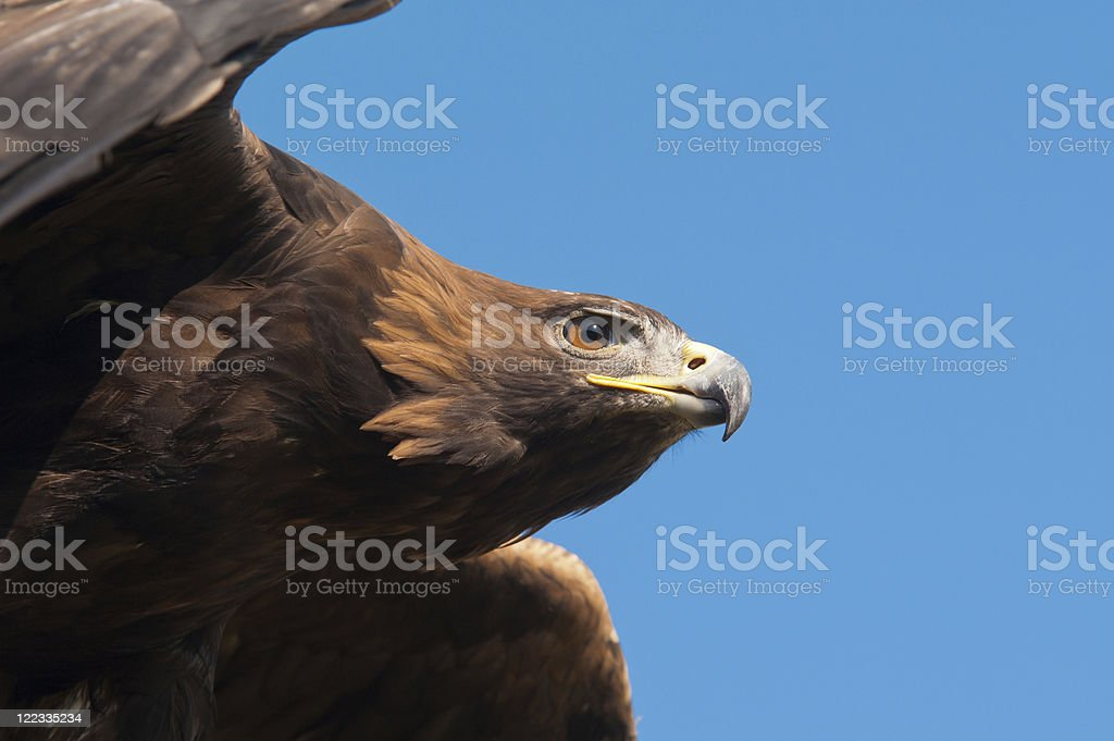 Golden Eagle (Aquila chrysaetos) stock photo