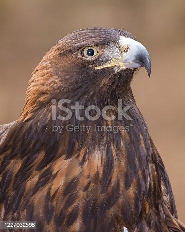 A portrait of a golden eagle