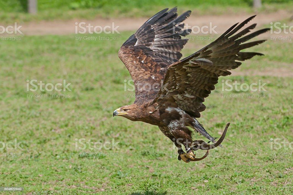 Golden Aquila - foto stock