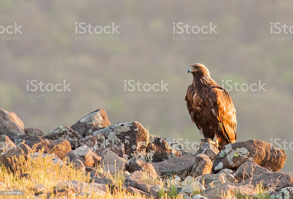 Golden Eagle chrysaetos (Aquila) - foto stock