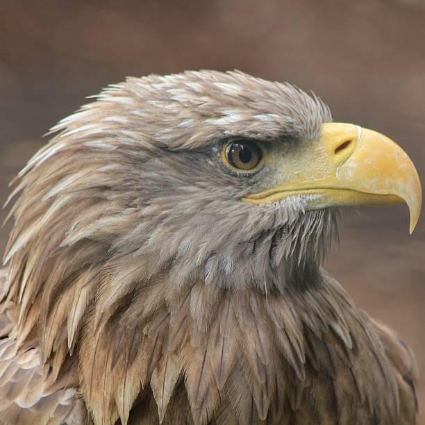 Golden Eagle – Foto