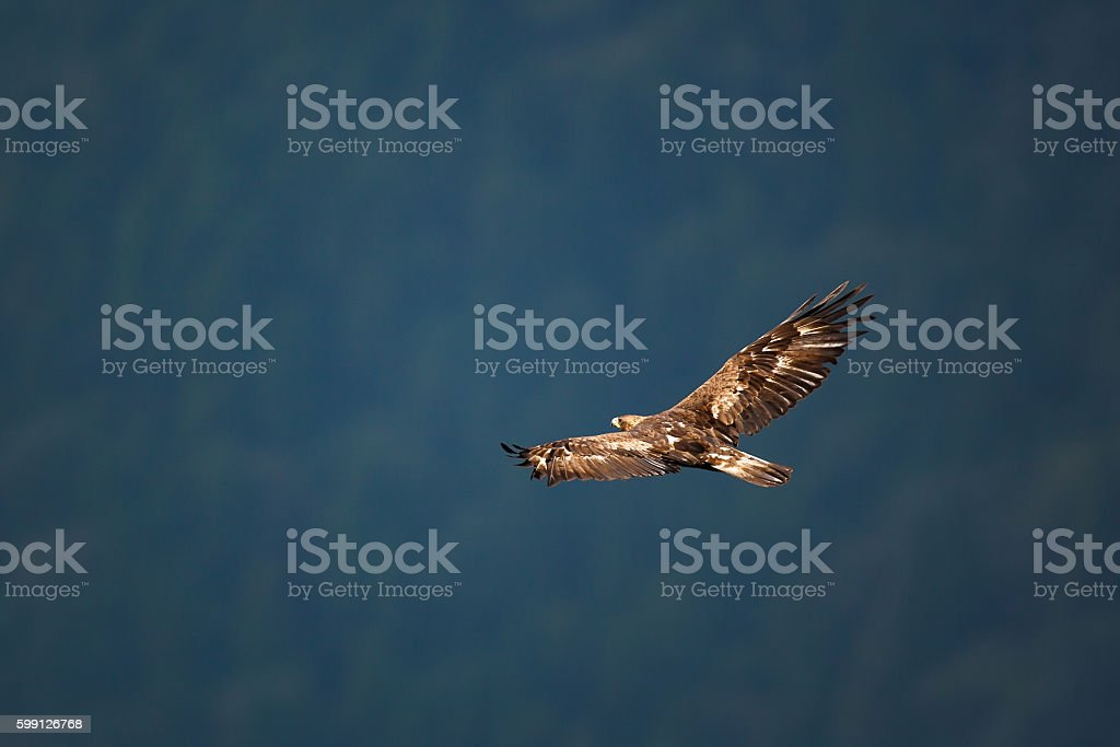 Golden Aquila  - foto stock