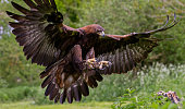 A Golden Eagle coming in to land on a tree stump.