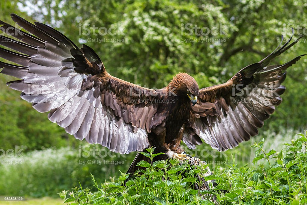 Golden Eagle. - foto stock