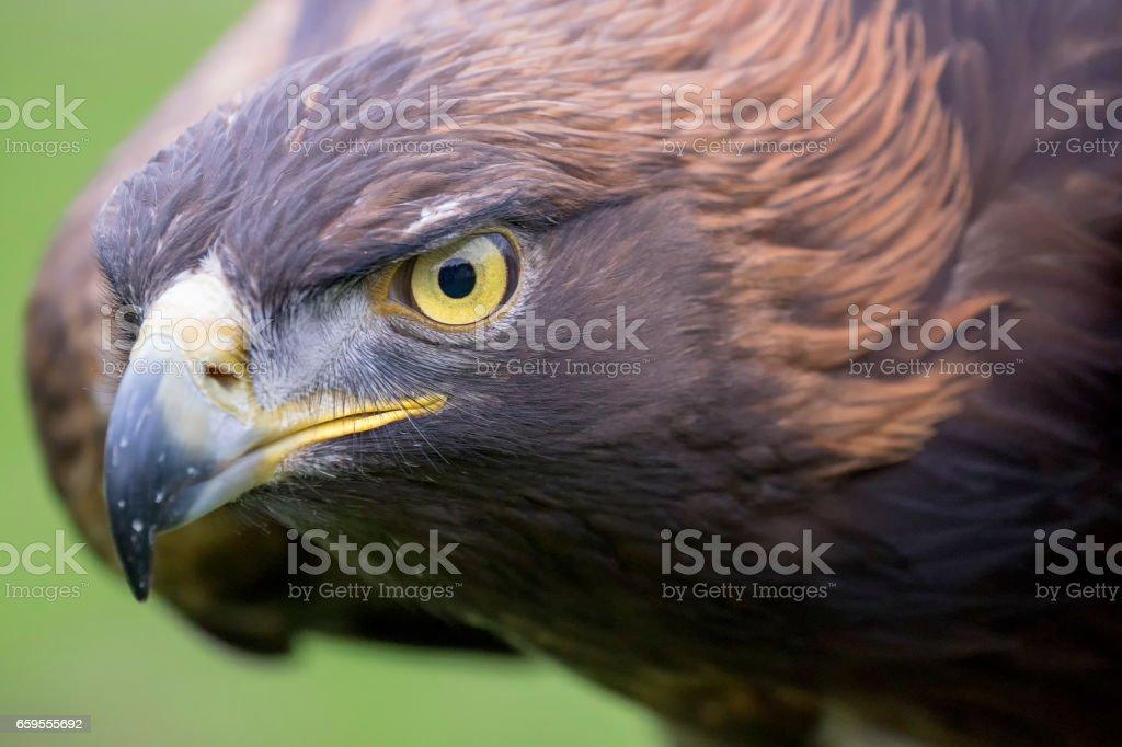 Águila real  - foto de stock