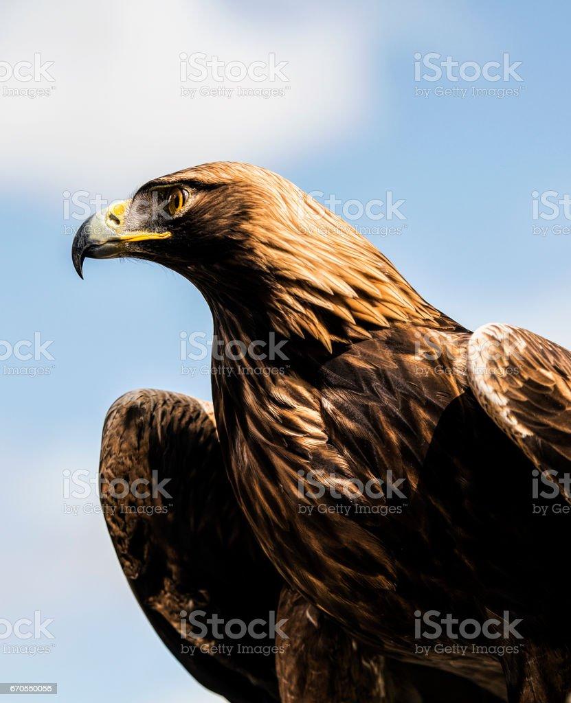 Golden Eagle - foto stock