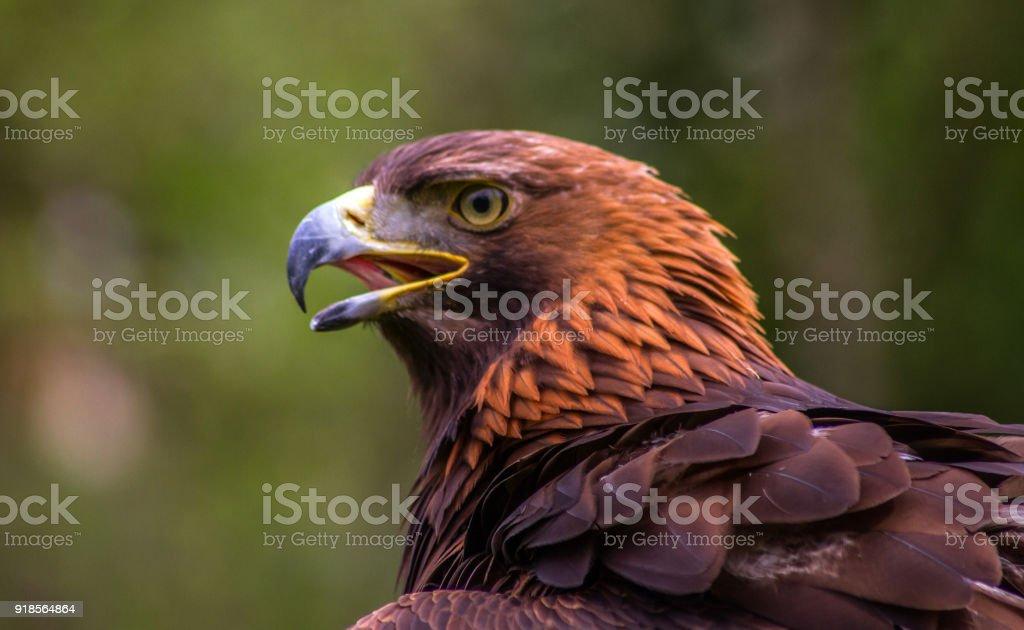 Golden Eagle. - foto stock