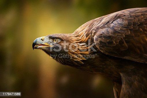 Golden eagle in the front of heavily blurred forest under the last sunbeams of day. Golden eagle is the national bird of Germany.
