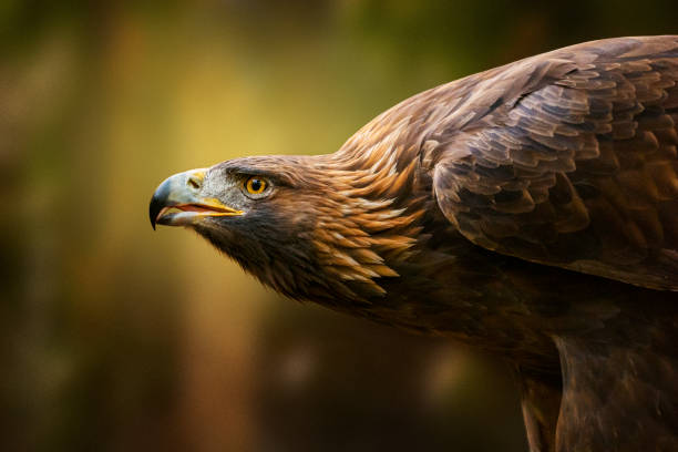 Golden Eagle Portrait stock photo