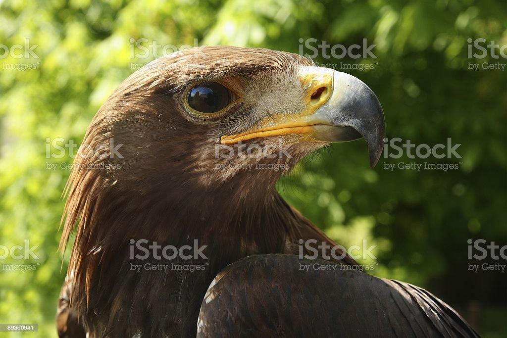 Golden eagle (Aquila chrysaetos), portrait royalty free stockfoto