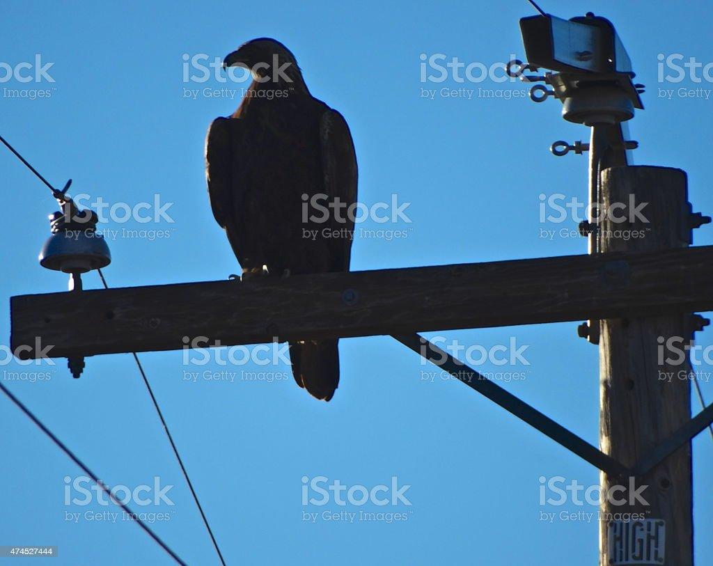 Golden Eagle Shady stock photo