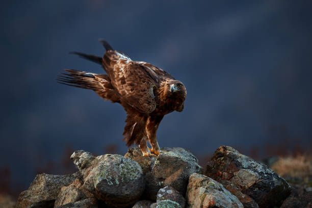 Golden Eagle (Aquila chrysaetos) sitting on the rock garden. Wild animal. Action wildlife scene from Rhodope stock photo