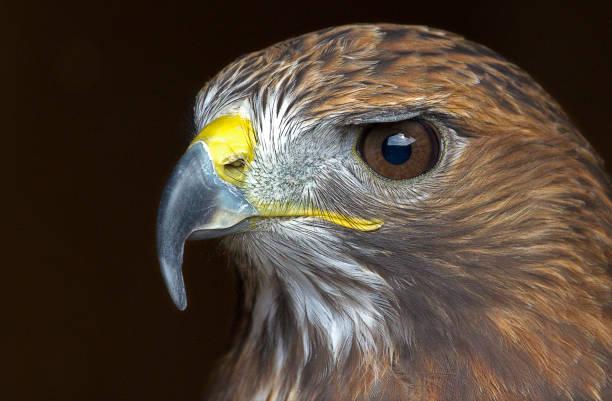 Golden Eagle stare stock photo