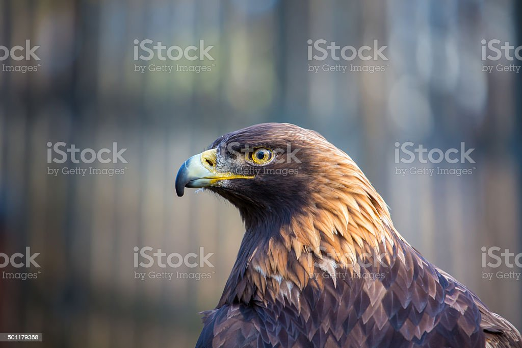 Golden Eagle, the King of the Skies. stock photo