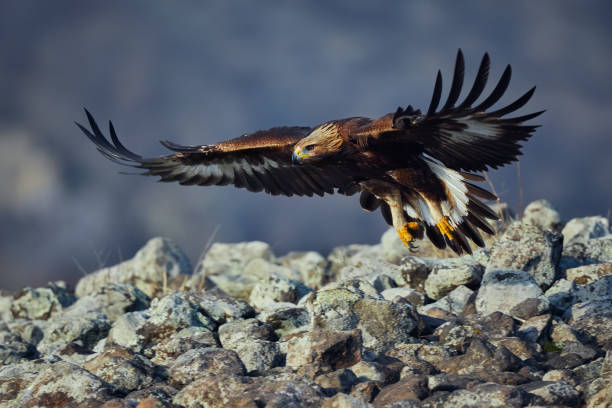 Golden Eagle (Aquila chrysaetos), with large wingspan. Wild animal. Action wildlife scene from Rhodope. stock photo